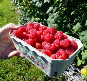 Hindbærsæson